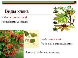 Виды клёна Клён остролистный ( с резными листьями) клён татарский ( с овальны