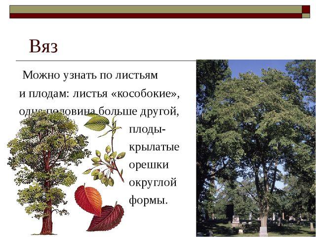 Вяз Можно узнать по листьям и плодам: листья «кособокие», одна половина боль...