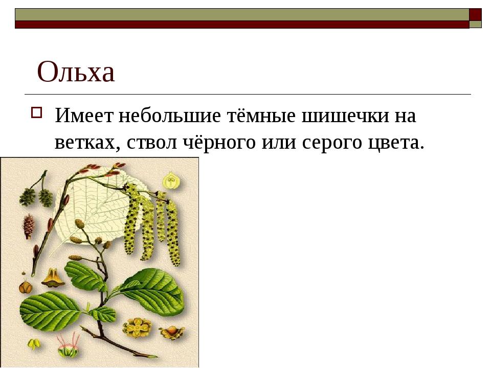 Ольха Имеет небольшие тёмные шишечки на ветках, ствол чёрного или серого цве...