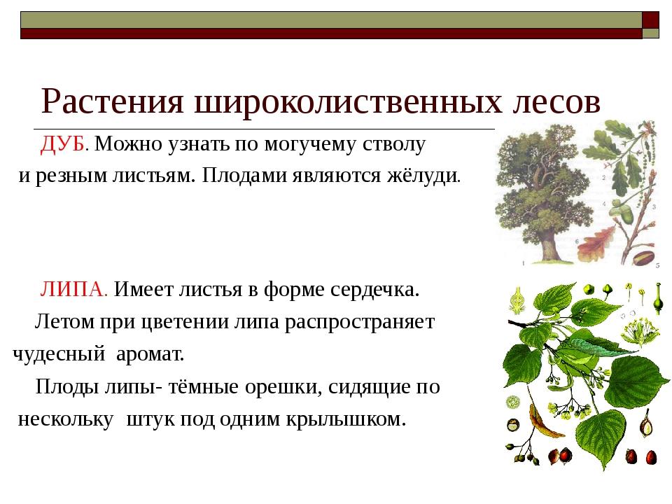Растения широколиственных лесов ДУБ. Можно узнать по могучему стволу и резным...