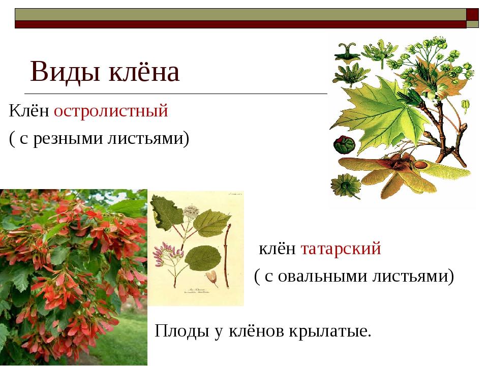 Виды клёна Клён остролистный ( с резными листьями) клён татарский ( с овальны...