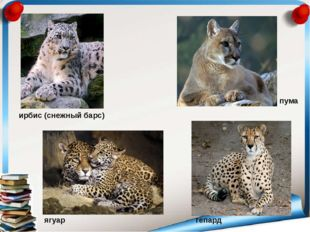 ягуар пума гепард ирбис (снежный барс)