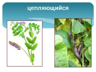 Почка – зачаточный побег, состоит из укороченного стебля с зачаточными листья