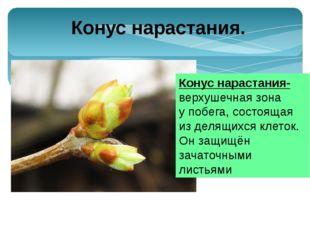 Узел – участок стебля, от которого отходит лист(листья). Расстояние между сос