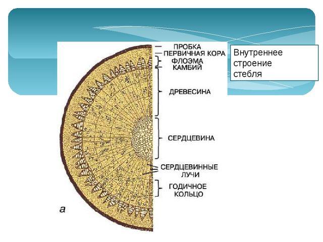 Словарь Годичное кольцо – это… годичный прирост древесины, хорошо заметный у...