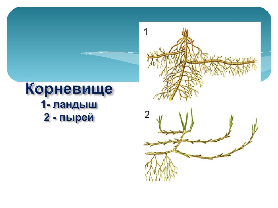 Виды стеблей прямостоячий ползучий вьющийся стелющийся цепляющийся