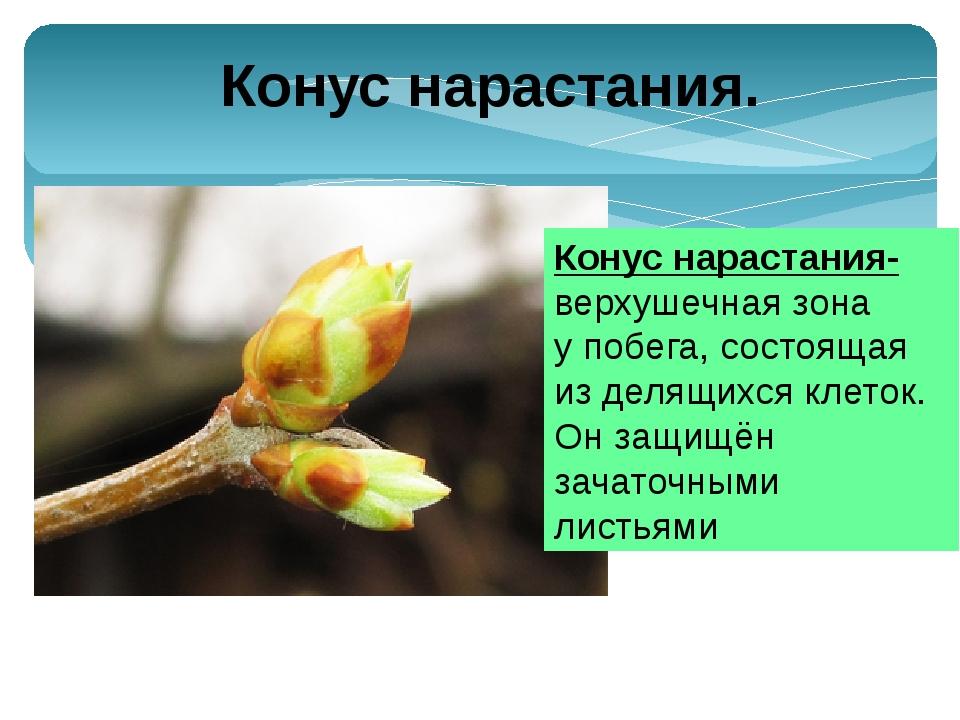 Узел – участок стебля, от которого отходит лист(листья). Расстояние между сос...