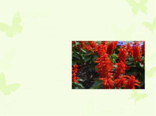 Шалфей Огненная сальвия является, наверное, традиционным украшением цветника