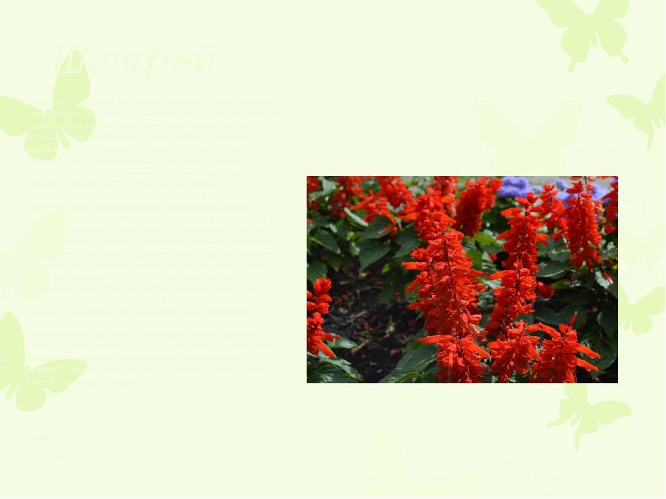 Шалфей Огненная сальвия является, наверное, традиционным украшением цветника...