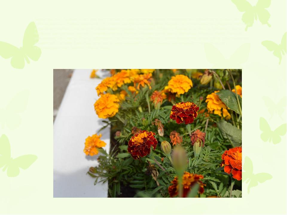 Бархатцы (лат. Tagetes) – это род многолетних и однолетних растений, относящи...
