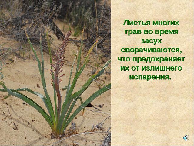 Листья многих трав во время засух сворачиваются, что предохраняет их от излиш...