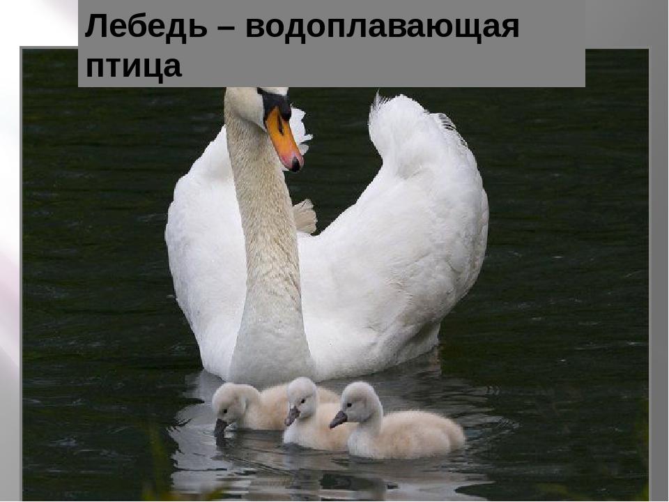 Лебедь – водоплавающая птица