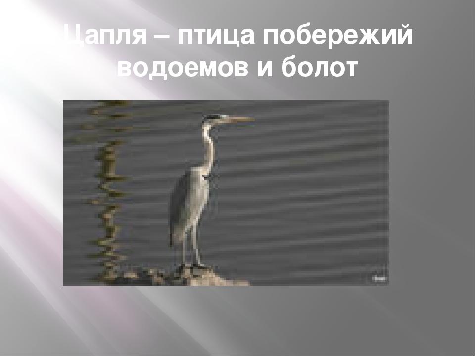 Цапля – птица побережий водоемов и болот