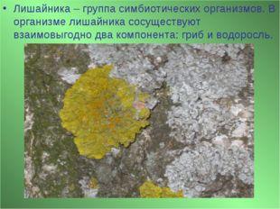 Лишайника – группа симбиотических организмов. В организме лишайника сосуществ