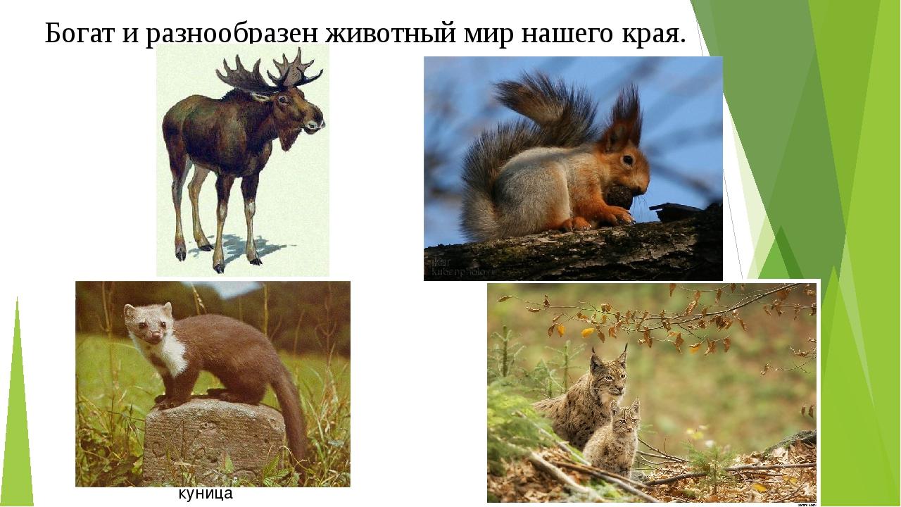 Богат и разнообразен животный мир нашего края. куница