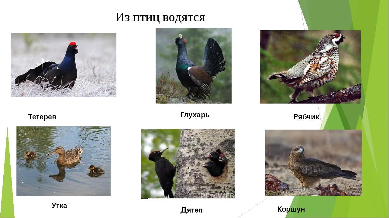Из птиц водятся Тетерев Глухарь Рябчик Коршун Утка Дятел
