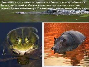 Находящиеся в воде лягушки, крокодилы и бегемоты не могут обходиться без возд