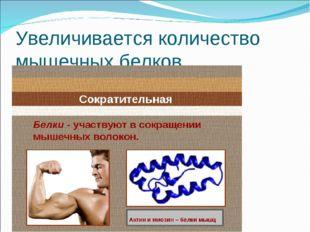 Увеличивается количество мышечных белков.