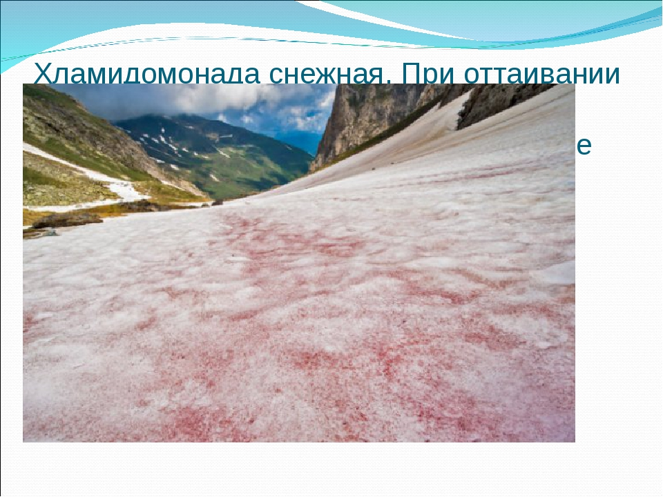 Хламидомонада снежная. При оттаивании снега клетки ее начинают быстро размнож...