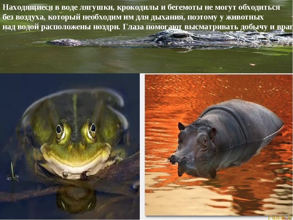 Находящиеся в воде лягушки, крокодилы и бегемоты не могут обходиться без возд...