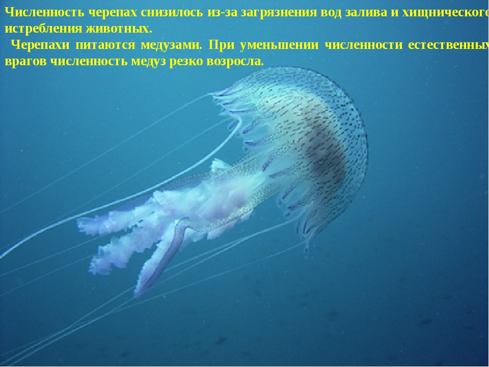 численность медуз резко возросла. Численность черепах снизилось из-за загрязн...