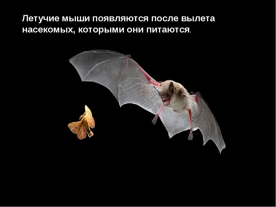 Летучие мыши появляются после вылета насекомых, которыми они питаются.