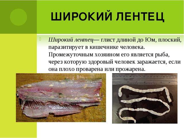 ШИРОКИЙ ЛЕНТЕЦ Широкий лентец— глист длиной до Юм, плоский, паразитирует в ки...