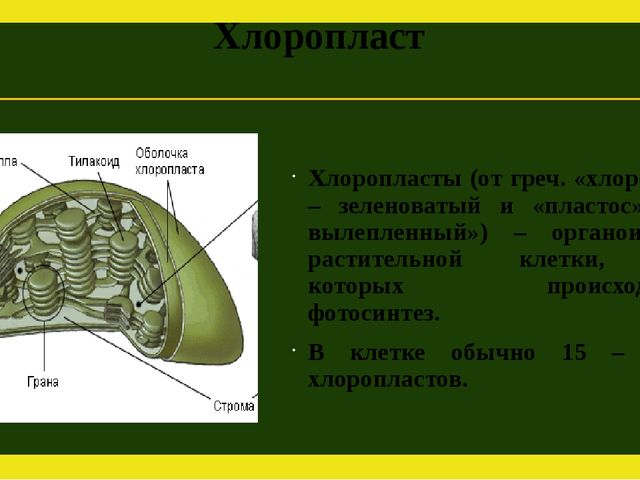 Хлоропласт Хлоропласты (от греч. «хлорос» – зеленоватый и «пластос» – вылепле...