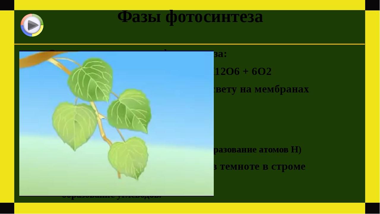 Фазы фотосинтеза Суммарное уравнение фотосинтеза: 6СО2 + 6Н2О = С6Н12О6 + 6О2...