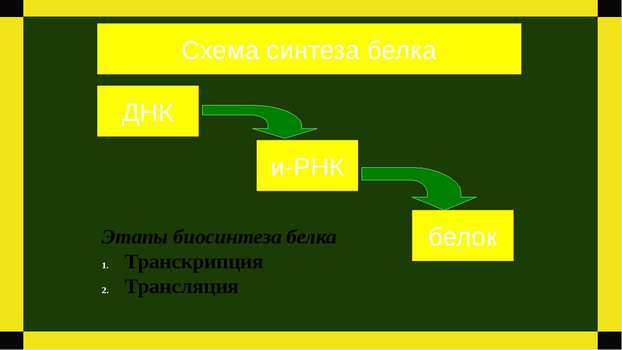 ДНК и-РНК белок Схема синтеза белка Этапы биосинтеза белка Транскрипция Транс...