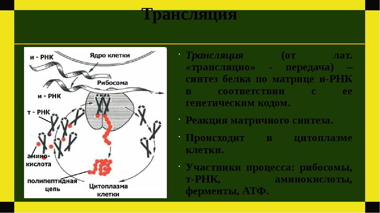 Трансляция Трансляция (от лат. «трансляцио» - передача) – синтез белка по мат...