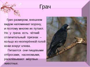 Грач Грач размером, внешнем видом напоминает ворону, и поэтому многие их пута