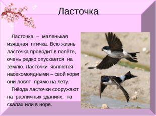 Ласточка Ласточка – маленькая изящная птичка. Всю жизнь ласточка проводит в п