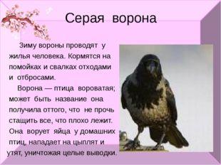 Серая ворона Зиму вороны проводят у жилья человека. Кормятся на помойках и св