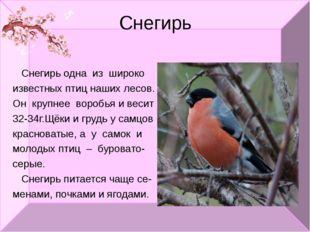Снегирь Снегирь одна из широко известных птиц наших лесов. Он крупнее воробья