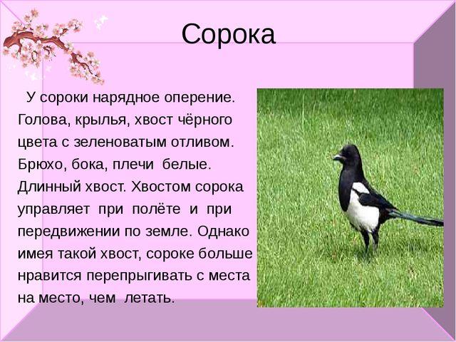 Сорока У сороки нарядное оперение. Голова, крылья, хвост чёрного цвета с зеле...