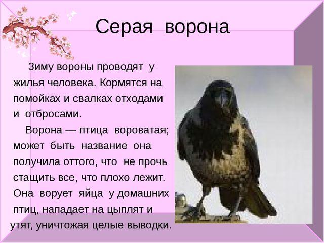 Серая ворона Зиму вороны проводят у жилья человека. Кормятся на помойках и св...