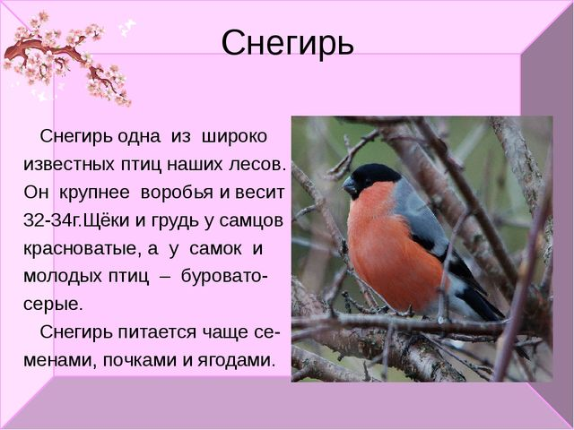 Снегирь Снегирь одна из широко известных птиц наших лесов. Он крупнее воробья...