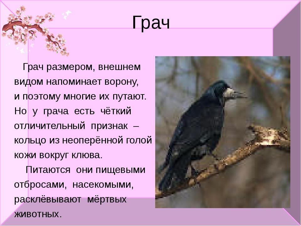 Грач Грач размером, внешнем видом напоминает ворону, и поэтому многие их пута...