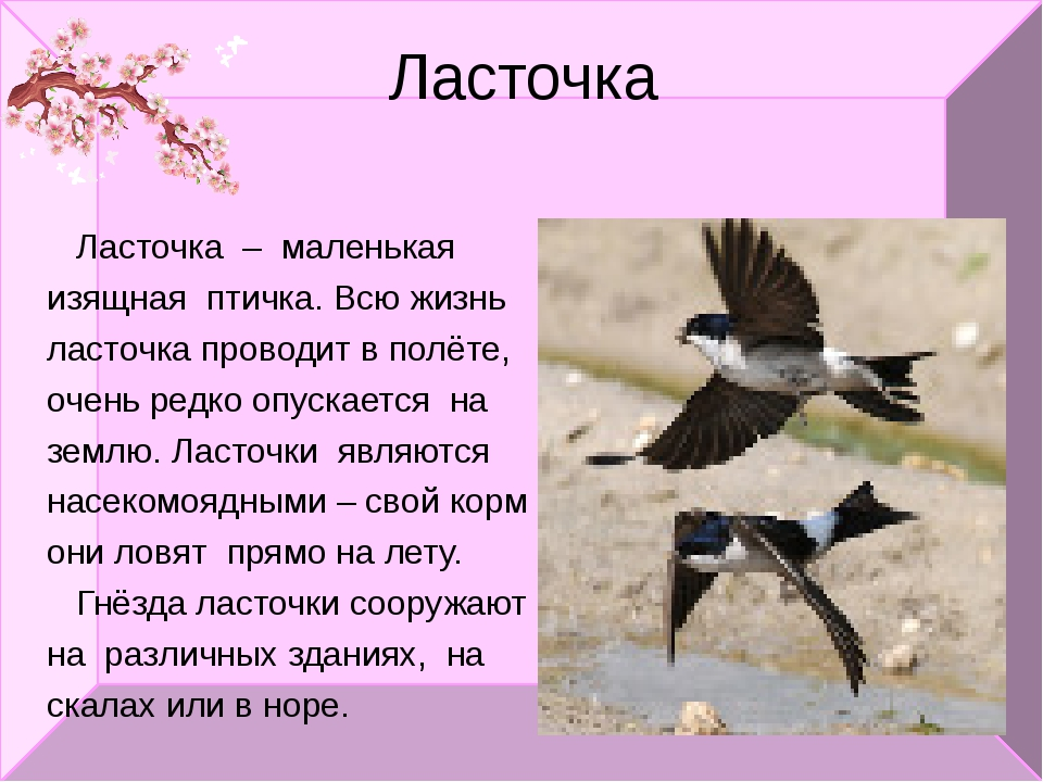 Ласточка Ласточка – маленькая изящная птичка. Всю жизнь ласточка проводит в п...