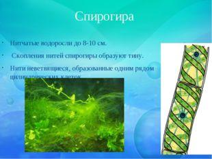 Спирогира Нитчатые водоросли до 8-10 см. Скопления нитей спирогиры образуют т