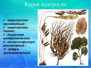 Бурые водоросли 1 - макроцистис грушевидный ; 2 - нереоцистис Лютке; 3 - дурв