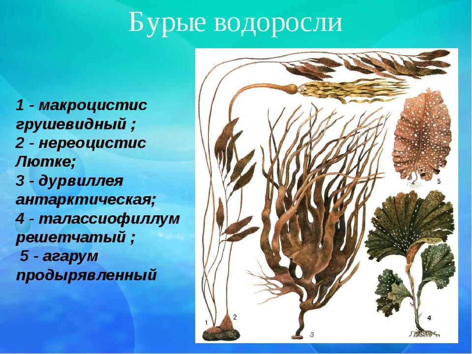 Бурые водоросли 1 - макроцистис грушевидный ; 2 - нереоцистис Лютке; 3 - дурв...