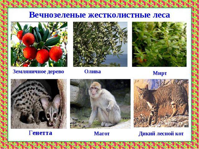 Вечнозеленые жестколистные леса Земляничное дерево Мирт Олива Генетта Магот Д...