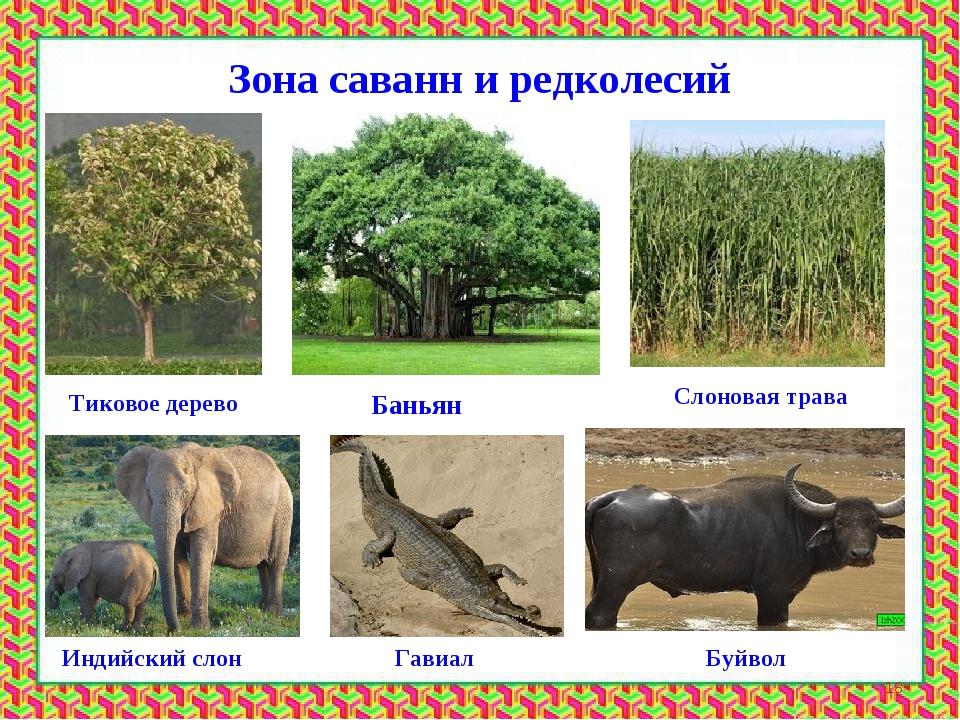 Ы саванн и редколесийЗЗона Зона саванн и редколесий Тиковое дерево Баньян Сло...