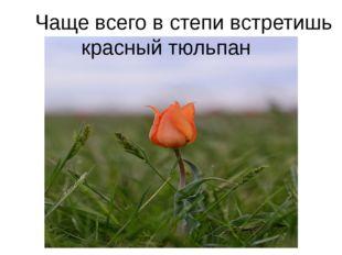 Чаще всего в степи встретишь красный тюльпан