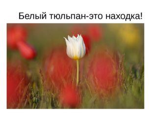 Белый тюльпан-это находка!
