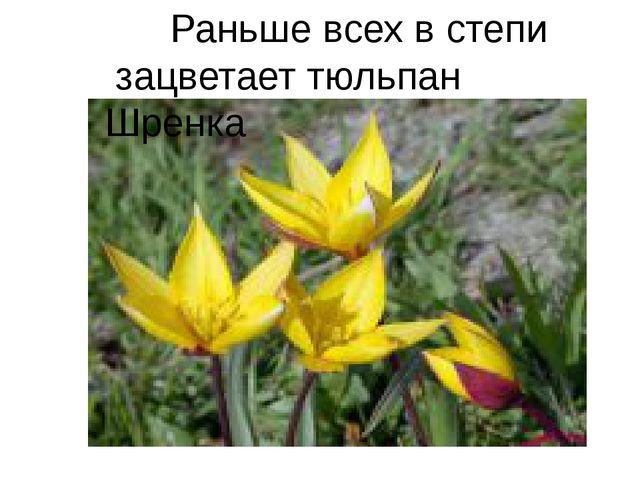 Раньше всех в степи зацветает тюльпан Шренка