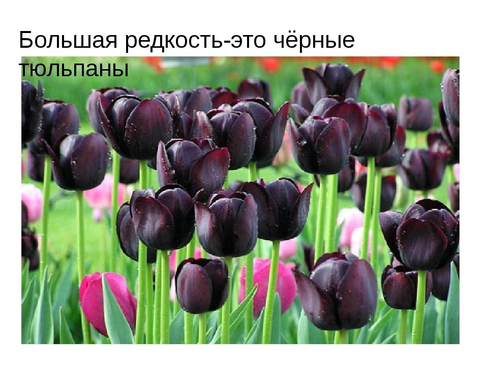 Большая редкость-это чёрные тюльпаны