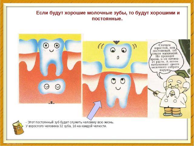 - Этот постоянный зуб будет служить человеку всю жизнь. У взрослого человека...